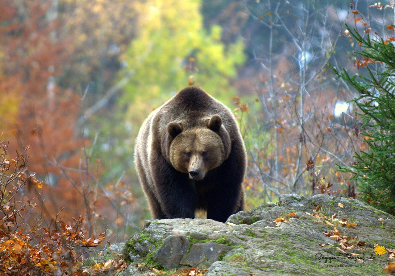 Braunbär (Nationalpark Bayerischer Wald)