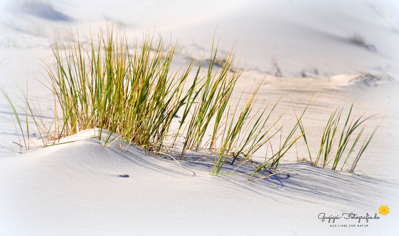 Dünengras – Ostsee