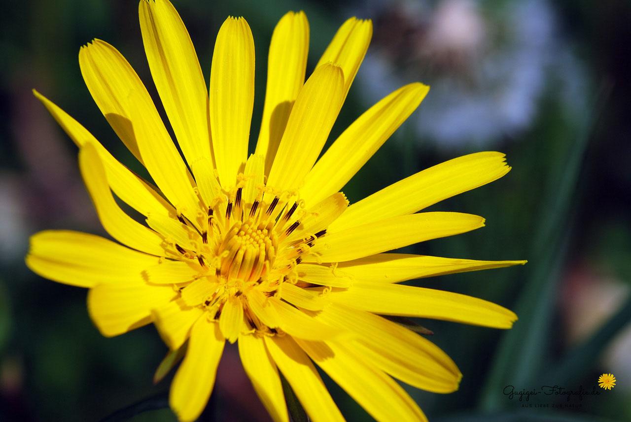 Wiesenbocksbart (Gugigei)