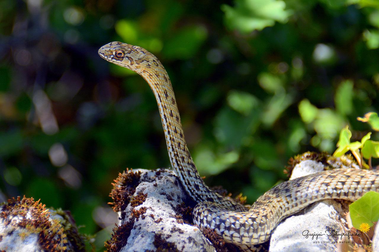 Europäische Eidechsennatter / Montpellier Snake (Malpolon monspessulanus)