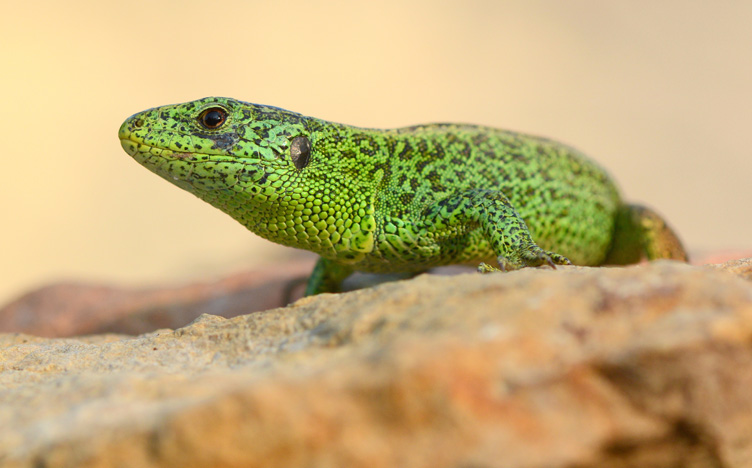 Zauneidechse (Lacerta agilis) Männchen