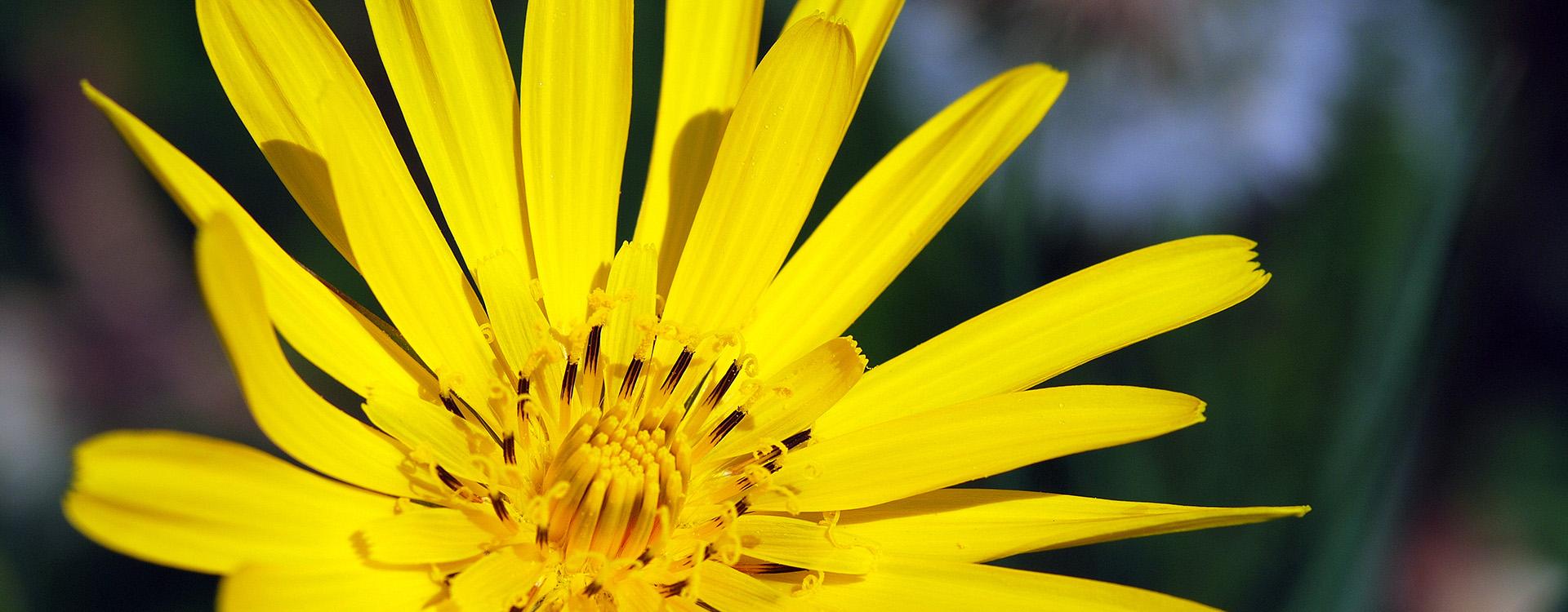 gugigei-fotografie-slider-bocksbart-gelb
