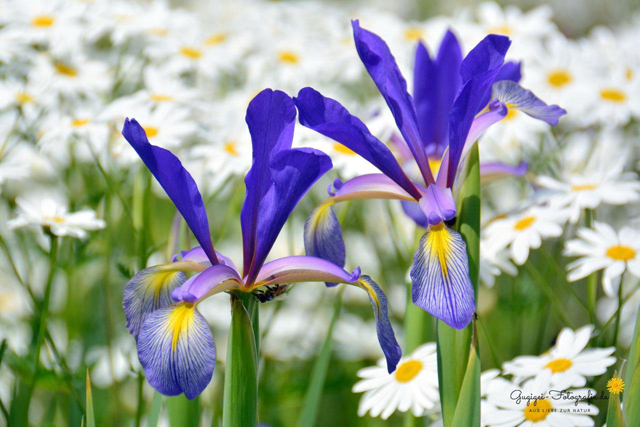 blaue Iris und Margeriten