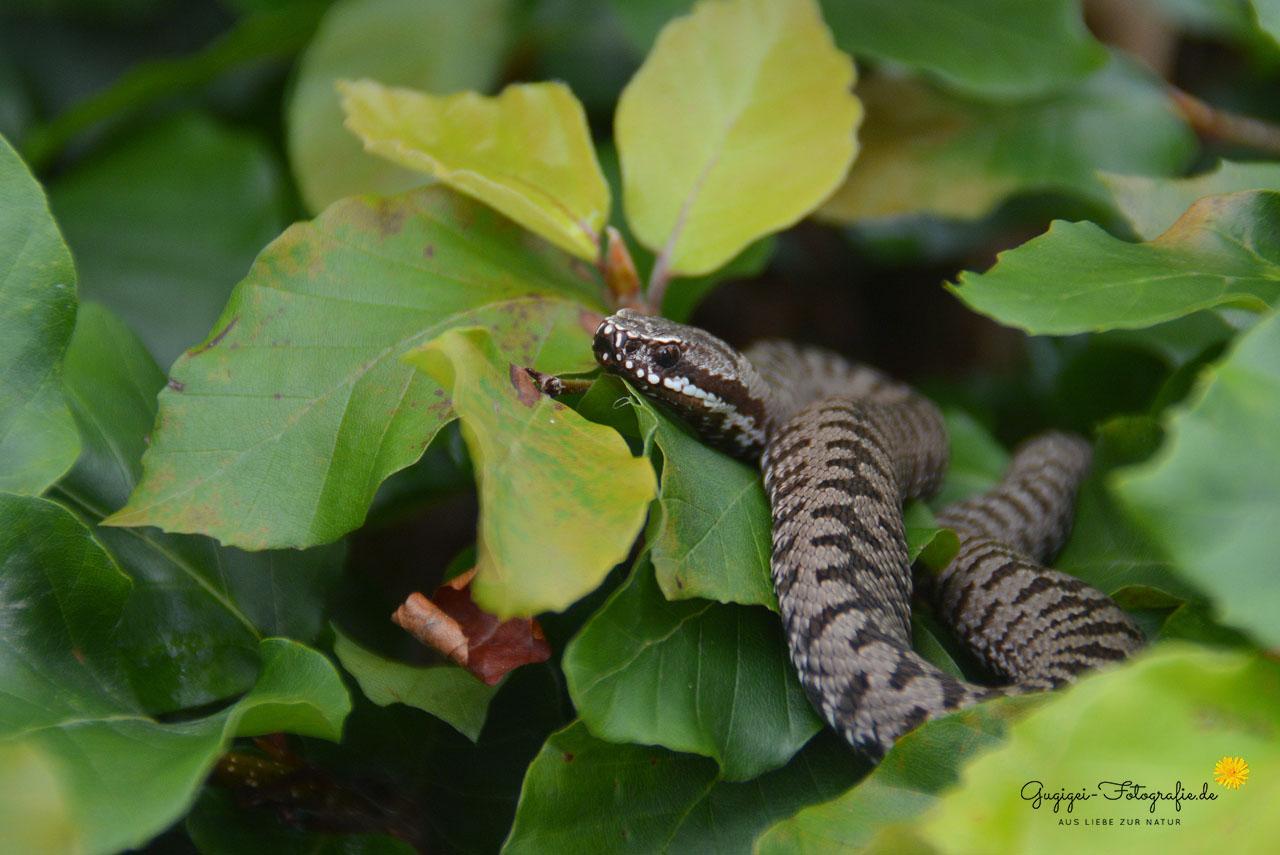 Kreuzotter (Vipera berus)