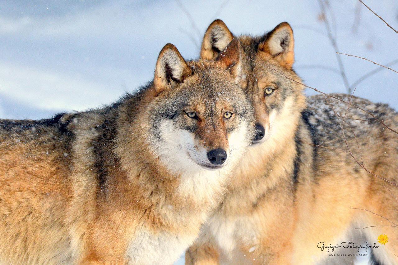 Wölfe (Nationalpark Bayerischer Wald)