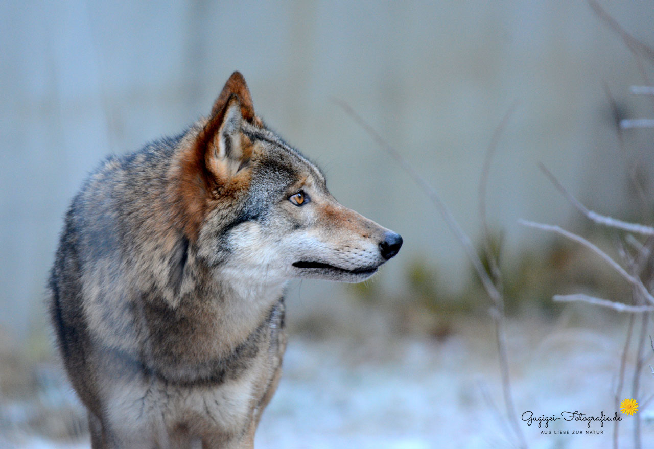 Wolf (Nationalpark Bayerischer Wald)