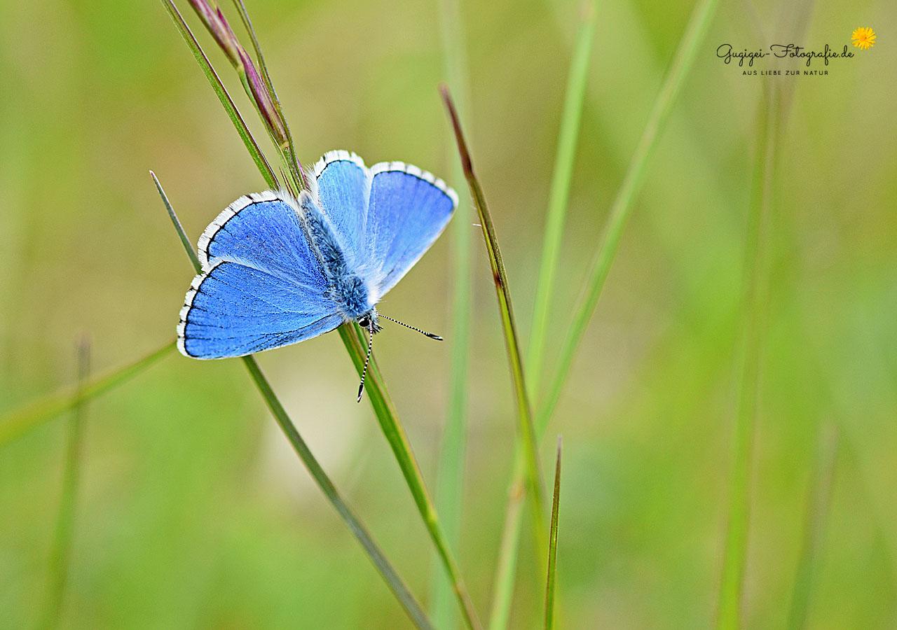 Himmelblauer Bläuling (Lysandra bellargus)