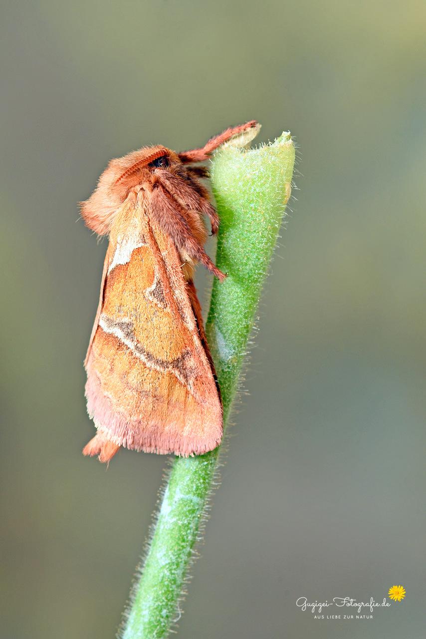 Ampfer-Wurzelbohrer (weiblich) – (Triodia sylvina)