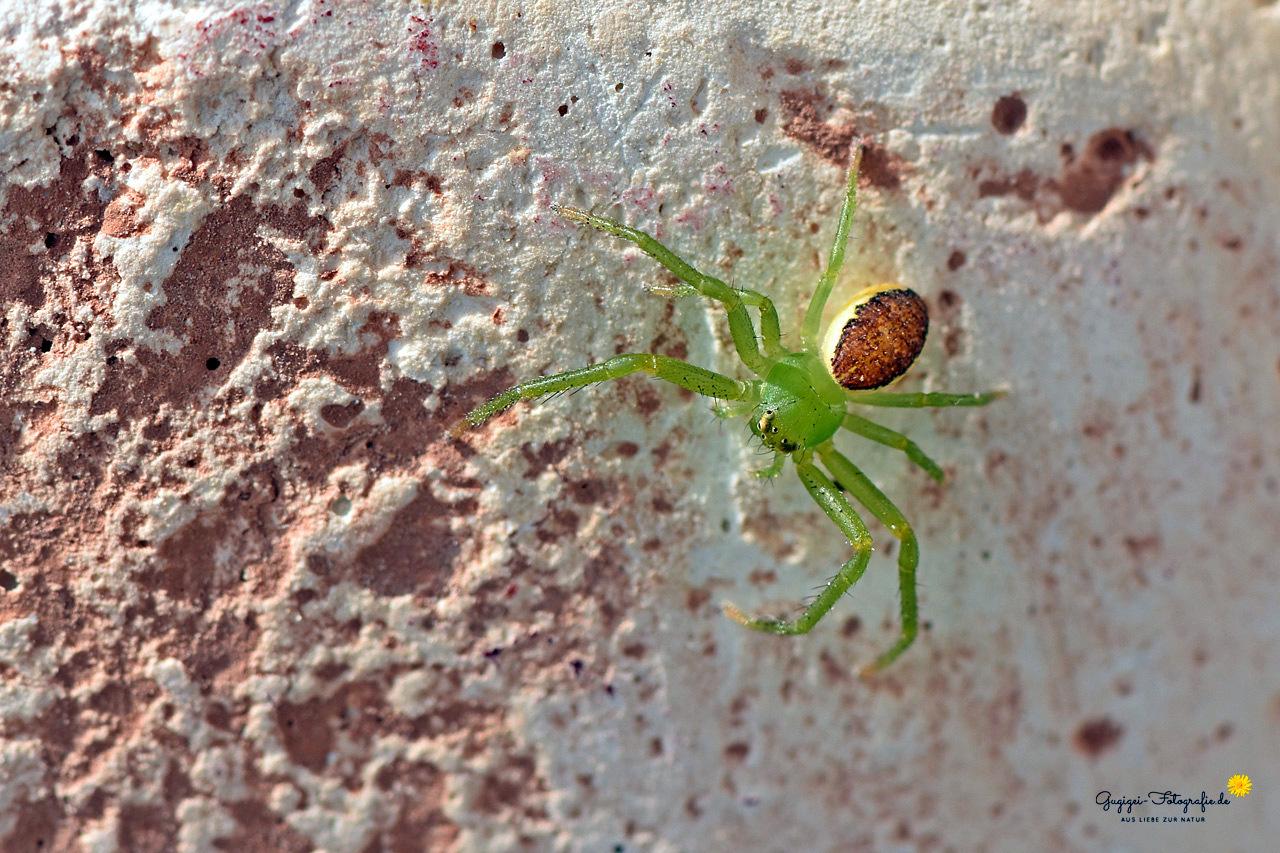 Grüne Krabbenspinne (Diaea dorsata), auch Grünbraune Krabbenspinne genannt