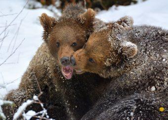 junge Braunbären (Nationalpark Bayerischer Wald)